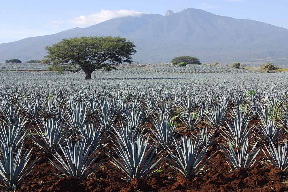 Tequila production in Tequila, Jalisco